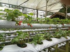 Genting Strawberry Leisure Farm, come appreciate new strawberries at this well known vacation spot in Genting Highlands.