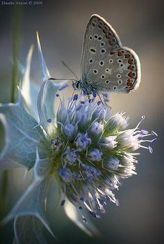 Poliommatus icarus & Eringium maritimum by Danilo Atzori