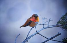 A Rufous Hummingbird takes a break on a pine tree, boasting his beautifully bright chest.