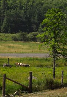 Miniature horses grazing in the lower field