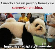Miss Kym Unplugged: Panda Dog Funny Spanish Memes, Crazy Funny Memes, New Memes, Funny Animal Memes, Wtf Funny, Funny Jokes, Funny Animals, Hilarious, Panda Dog