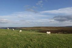 Sheep grazing in Bronte Country