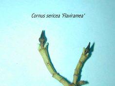 cornaceae sericea flaviramea - Google Search
