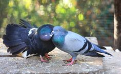 Hit by a Car and Left for Dead, These Two Pigeons Have Found Love at a Sanctuary