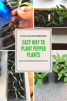 As I wrote about previously, I like to individually plant my seeds in egg shells. This is how I usually plant pepper plants. While I did plant some pepper plants in egg shells this year, I also planted some in flat trays. The Banana Pepper … Growing Veggies, Planting Vegetables, Vegetable Gardening, Farm Pictures, Garden Pictures, Gardening For Beginners, Gardening Tips, Pepper Plants, Garden Maintenance