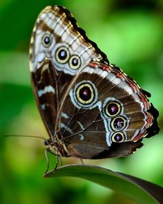 With wings closed, the blue morpho butterfly (Morpho peleides) appears to have seven sets of eyes.