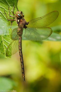 Fawn Darner (Boyeria vinosa) male by Buck Snelson**