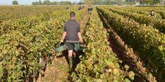 Pourquoi la baisse des récoltesde vin est importante pour l'économie française