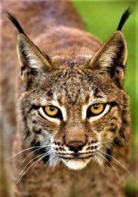 Lilly Lynx Large Animals, Animals And Pets, Cute Animals, Jaguar, Mundo Animal, My Animal, Puma, Big Cats, Cool Cats