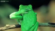 Tree frogs have extremely flexible legs. Cute Baby Animals, Animals And Pets, Funny Animals, Cute Reptiles, Reptiles And Amphibians, Pet Frogs, Amazing Frog, Funny Frogs, Frog And Toad