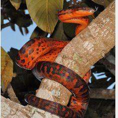 Another red mountain boa ❤️❤️ BOAS F❤️R LIFE #boa #boas #boaconstrictor #boaconstrictors #boaofig #boaofinstagram #snake #snakes #snakeofig #snakesofig #snakeofinstagram #petofig #petofinstagram #redtail #redtails #redtailboa #snakebite #redtailboas #snakemorph #snakemorphs #boamorph #boamorphs #boasofinstagram #snake #snakes #reptile #reptiles #reptileofinstagram #snakeofinstagram #snakesofinstagram #coldblooded #Aarhus #Denmark