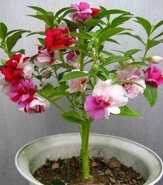 Garden Balsam varieties Balsamina Flower Seed 100 by Greenworld1