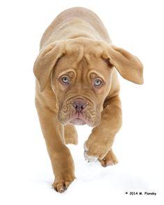 Dogue de bordeaux (French mastiff) puppy in the snow. Mastiff Breeds, Mastiff Dogs, Giant Dog Breeds, Giant Dogs, Cute Dogs And Puppies, I Love Dogs, Doggies, French Mastiff Puppies, British Mastiff