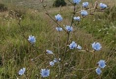Common Chicory plant:)