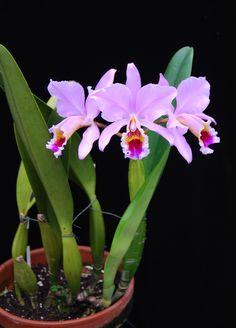 Cattleya percivaliana 'summit' x 'sonja' plant | @ salabat
