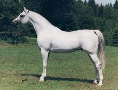 ETOGRAM (*El Paso x Etruria, by Palas) 1981 grey stallion