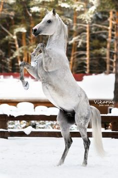 Arabian stallion Kollizey by madelyn