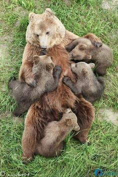 Very rare to see a mom grizzly bear with 4 cubs. Nature Animals, Animals And Pets, Wild Animals, Beautiful Creatures, Animals Beautiful, Cute Baby Animals, Funny Animals, Baby Pandas, Tier Fotos