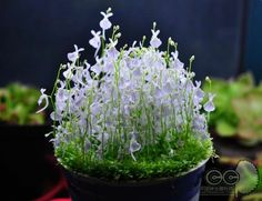 Utricularia sandersonii is a small perennial carnivorous plant that belongs to the genus Utricularia. It is endemic to South Africa and is known to grow in northern KwaZulu-Natal to T...Meer weergeven