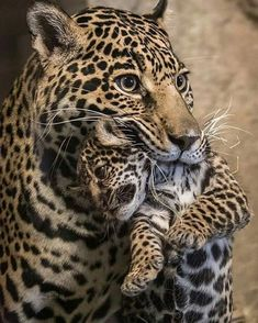 "Mother Jaguar carrying her youngster. [""sdzoo: Baby on Board (photo by Bob Worthington). Animals And Pets, Baby Animals, Cute Animals, Wild Animals, Cute Kittens, Cats And Kittens, I Love Cats, Big Cats, Beautiful Cats"