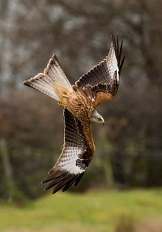 My buddy the red kite... Wanne see it in Denmark..? OK... Go to the midjutland area Hammel to Langå and you will be sure to see them.