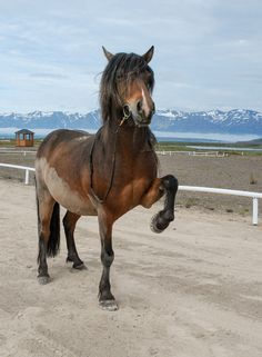 For the horse lovers:) Icelandic Horse (by tanjadavis)
