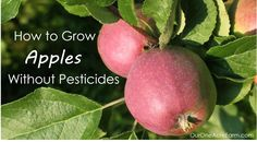 Learn how to grow apples without pesticides! Plant trees in either spring or fall. Explains how to: choose disease resistant varieties, use permaculture techniques like guilding, prune branches and thin flowers, bag young fruit to protect from pests, and identify nutrient deficiencies.