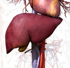 The liver is the largest glandular organ in the body and performs many vital functions to keep the body pure of toxins and harmful substances.  It is a vital organ that supports nearly every organ in the body in some facet.  Without a healthy liver, a person cannot survive...