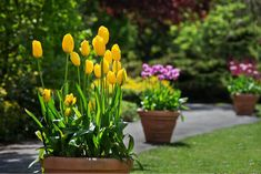Autumn Gardening: Layer bulbs in pots for explosions of spring color Planting Bulbs In Spring, Summer Flowering Bulbs, Summer Bulbs, Garden Bulbs, Spring Bulbs, Spring Blooms, Spring Flowers, Bulb Flowers, Flowers Nature