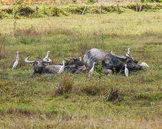 2012 Photograph, Water Buffalos in a Mud Wallow Surrounded by Cattle Egrets, Phuket, Thailand, © 2013.  ถาพถ่าย ๒๕๕๕ ควายในปลัก ล้อมรอบไปด้วยนกกระยาง ถูเก็ต ประเทศไทย