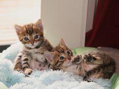 Best TOP 10 Bengal Cats Kittens - Top Cute Kitten: Video Compilation NEW https://www.youtube.com/watch?v=YT9UtFkFCog&list=PLC_HjotBFMpPYPrirlujUrXHM0wXivW7h