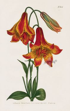 Tiger Lily...tiger..tiger burning bright...William Curtis Botanical Magazine Antique Prints 1787-1817