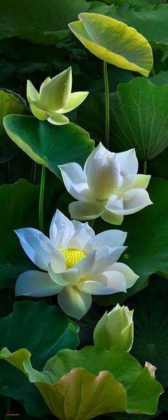 Lotus: Nelumbo [Family: Nelumbonaceae]