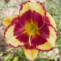 Yellow with red eye above green throat. Rebloomer.