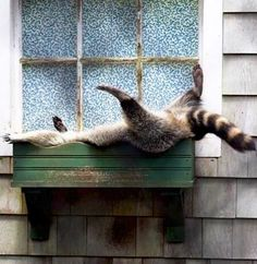 Just a racoon taking a nap in a window box.
