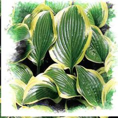 Hosta Queen Josephine - we planted these in the backyard