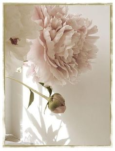 Peony Photograph Vintage Inspired, Shabby Chic Wall Art, Pale Pink and Sepia, French Country Home