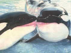 #killerwhales #kissing