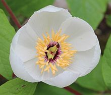 Paeonia japonica is a plant native of the islands of northern Japan. The flowers are always white. It grows in mountainous conditions in forests of deciduous trees. This species is similar to Paoenia obovata, but smaller. Alpine Plants, Deciduous Trees, Rare Plants, Hollyhock, Botanical Gardens, Fascinator, Succulents, Tropical, Landscape