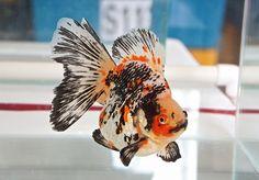 Ryukin Goldfish, Comet Goldfish, Goldfish Tank, Gold Fish Painting, Goldfish Types, Coldwater Fish, Life Under The Sea, Salt Water Fish, Mundo Animal