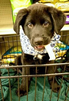 Kyle is approximately 10 weeks old as of 1/26/14. He is a sweet and playful lab/hound mix.If you are interested in adopting Kyle, please email adopt@charlottespca.org.