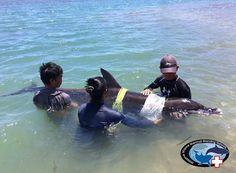 Awareness For Cetaceans — A rough-toothed dolphin stranded itself past...