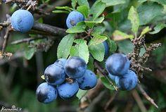 Sloe Berries, Superfood, Wild Flowers, Blueberry, Flora, Herbs, Fruit, Plants, Image