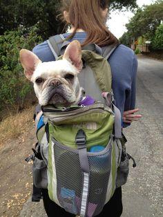 Perros de excursión. foto de perro bulldog frances viajando en una mochila.