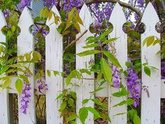 pickets and purple