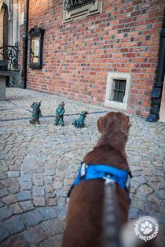 Wrocławskie podboje, gonitwy za kotami i zdobycie szczytu! Labrador Retriever, Dogs, Animals, Labrador Retrievers, Animales, Animaux, Pet Dogs, Doggies, Animal