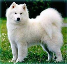 SOMEONE GET ME THIS DOG!! Oh, I've gone and fallen in love. Haha.  (It's so fluffy I'm gonna...)