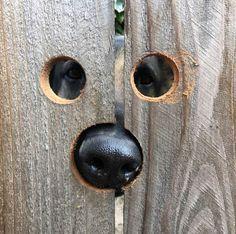 Peekaboo Holes in the Fence For Penny the Peeking Dog - Neatorama