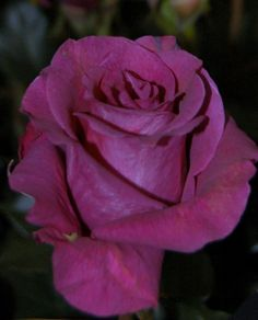 Mamy Blue. Order them online @ www.parfumflowercompany.com or go visit your florist.
