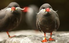 These awesome seabirds with mustaches nest in rocky hollows or burrows along the coasts of Peru and Chile.